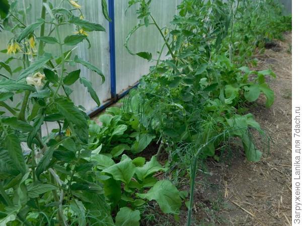 Видно рукколу, росшую вдоль фундамента и между кустов томатов.