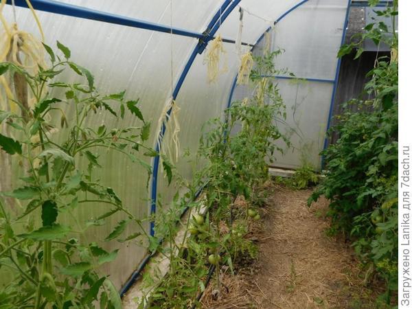 Травку я повыдергивала, но спасти томаты в этом ряду уже не удалось. Справа было получше, но такого плохого урожая томатов у нас еще не было. Правда, и лето было бяковское.