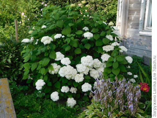 Рядом хоста с еще не уделенными цветоносами, лилейник весной пересажу в другое место.