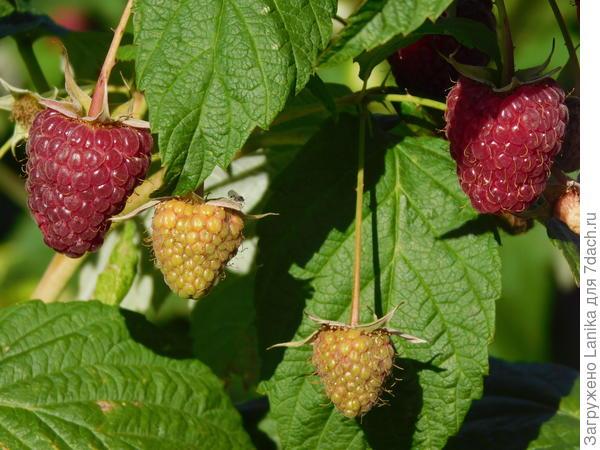 """Вначале ягоды были правильной формы. А потом они стали принимать сплюснутую форму. А внутри беленькая штучка - """"плодоложе"""" - как будто трескалось и расходилось, заставляя ягоду принимать такую неправильную форму. Я, честно говоря, испугалась, что это какое-то заболевание"""