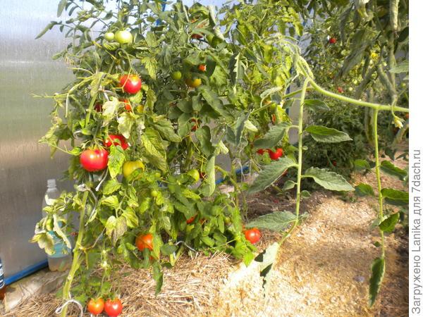 А это 2016 год, лето жила в деревне - под томатами солома, на тропках опилки.