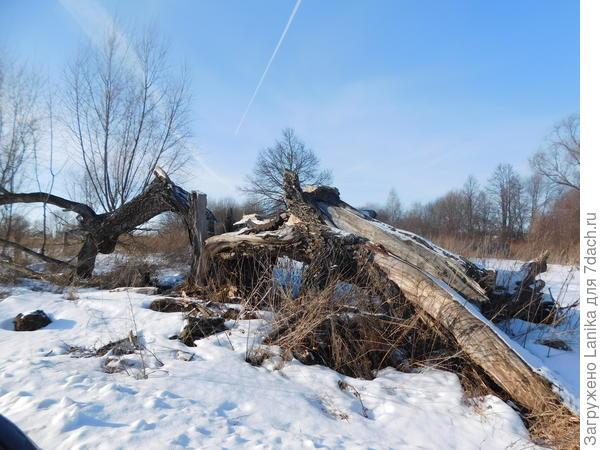 Это остатки рухнувшего дерева в прошлое лето.