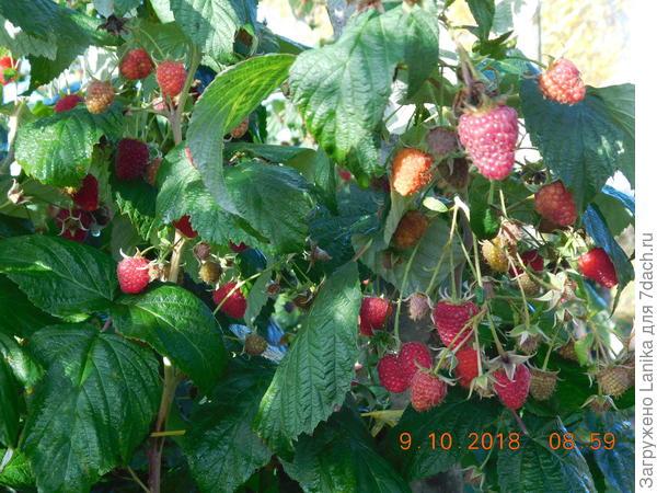 Это как раз 9 октября, до сбора ягод.