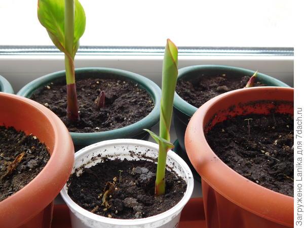Высаживаю в горшки, когда луковицы активизируются.