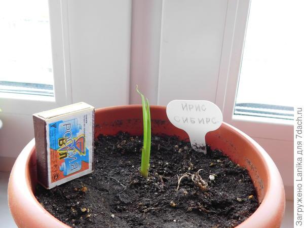 Он даже успел немного вырасти, но уже здесь видно, что кончик начал скручиваться. Когда все окончательно высохло несмотря на все мои заботы, раскопала - корень сгнил.