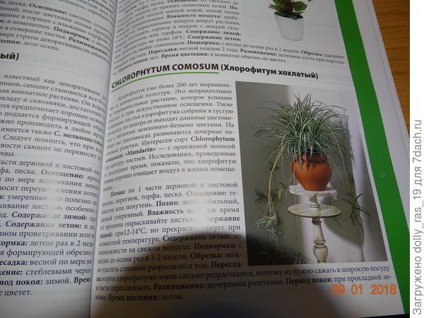 Текст о хлорофитумах  из первой книги