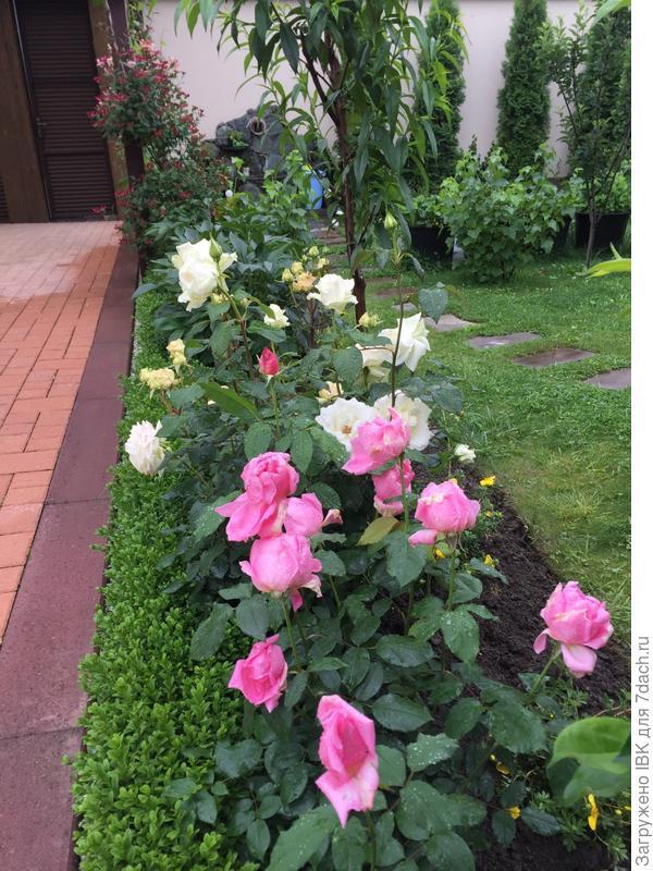 Мои необыкновенно ароматные розы.