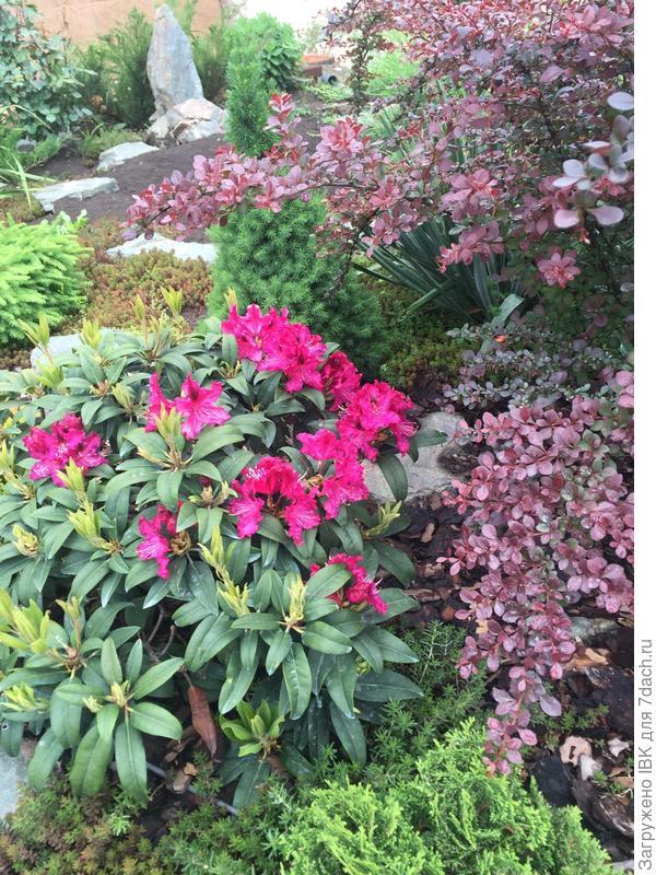 А весной цвели рододендроны