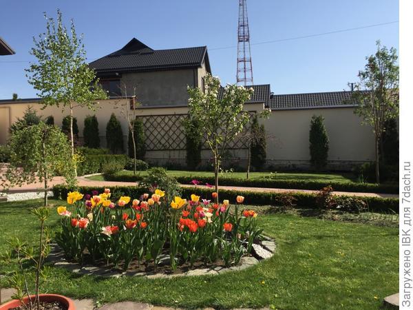 разноцветные тюльпаны,