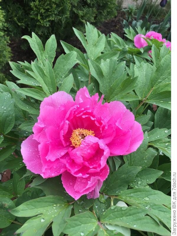 первый цветок древовидного пиона,