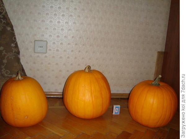"Тыквы ""Хеллоуин"""