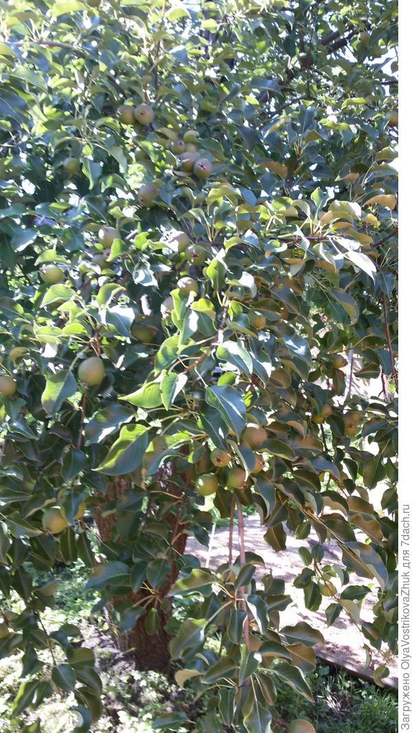 Это ее плоды. Каждый год их очень много!