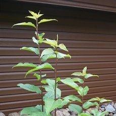 Я считала это растение черемухой.