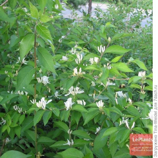 https://leplants.ru/garden-plants/ornamental-trees-and-shrubs/lonicera/lonicera-maackii/