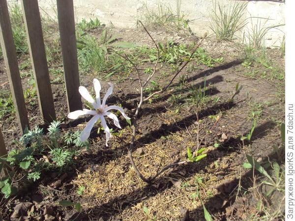 На маленьком деревце огромный цветок