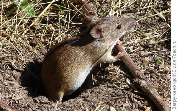 Мышь за завтраком. Фото с сайта komotoz.ru/