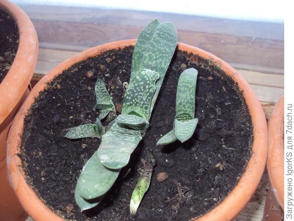 Отсаженные растения уже через год дают своих деток