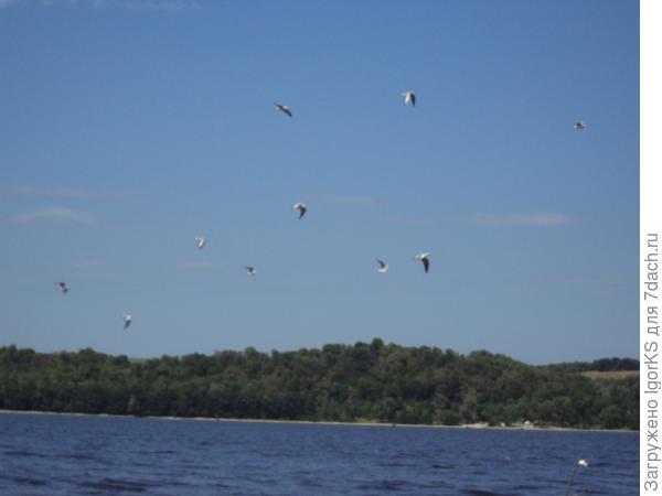 Кружат чайки - жди пира хищной рыбы