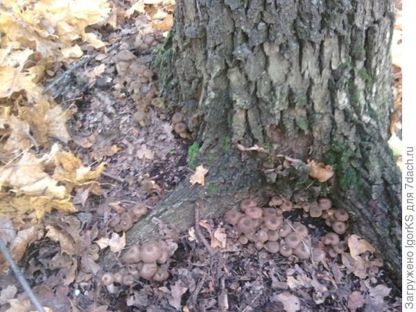 Присмотритесь. Под одним этим деревом расло полкилограмма опят.