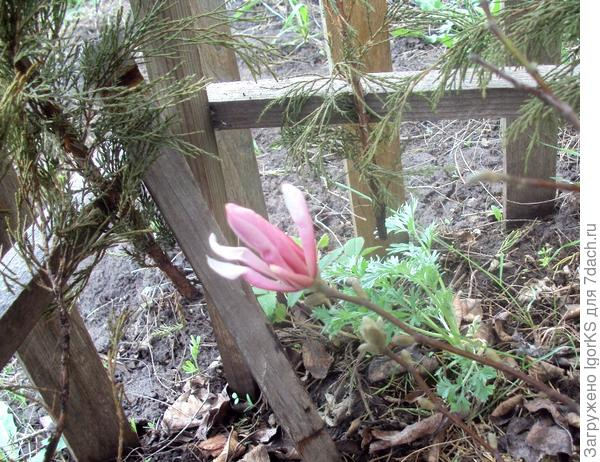 Весной половину лапника можно снять с каркаса