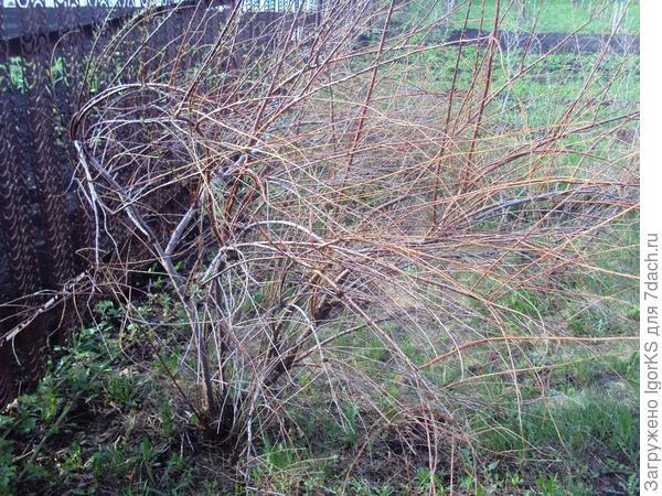 Обычная газонокосилка поломает весь тамарикс
