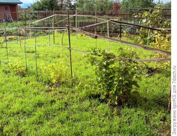 Часть из растущего винограда