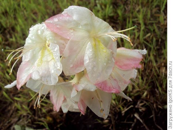 Азалию Satomi прислали уже цветущей