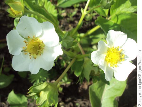Садовая земляника сорта Ева в цвету