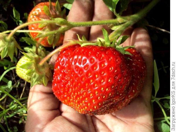 Под тяжестью ягод