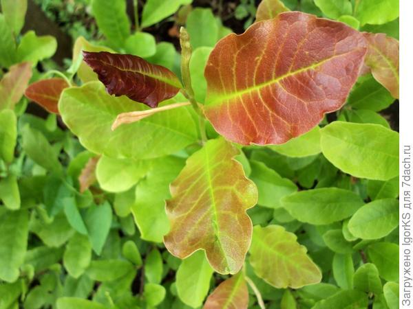 Так выглядят молодые листья на магнолии Лебнера. Затем они становятся зелеными