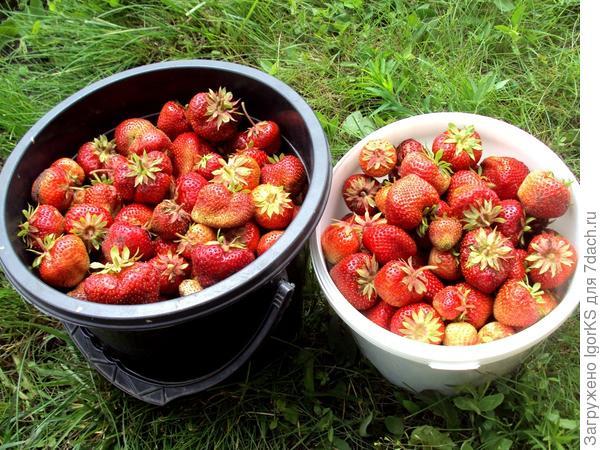 Вчерашний урожай Гигантеллы (9 июля)