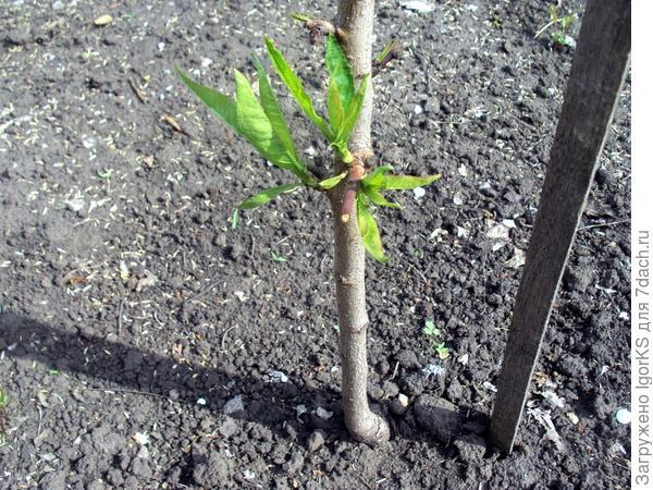 Персик сорта Золотой юбилей