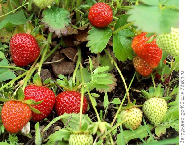 Если делать щадящую прополку, ягоды остаются чистые и не портятся