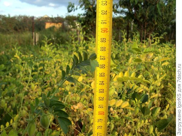 Высота растений в августе 2017 года