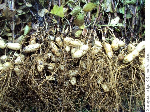Урожай домашнего арахиса