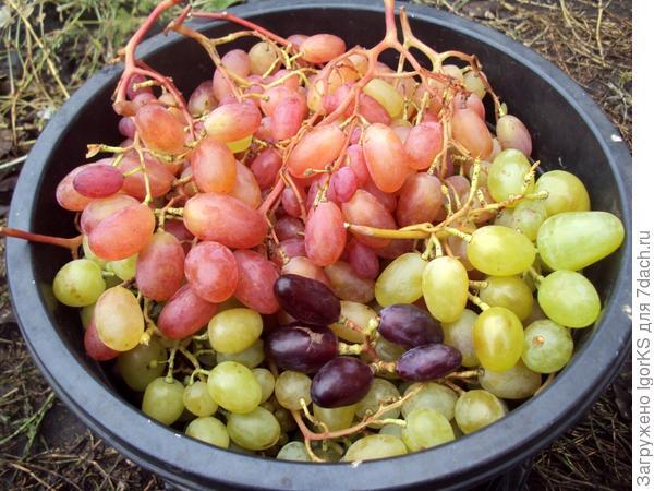 Виноград у меня не хуже, чем у соседа