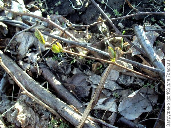 Посаженный осенью черенок. Весна