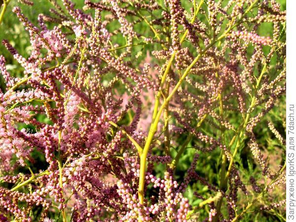 Всё лето тамарикс приманивает множество насекомых