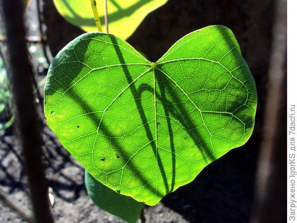 Лист молодого растения