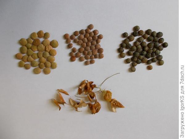 Чечевица - одна из наиболее вкусных и полезных представителей бобовых