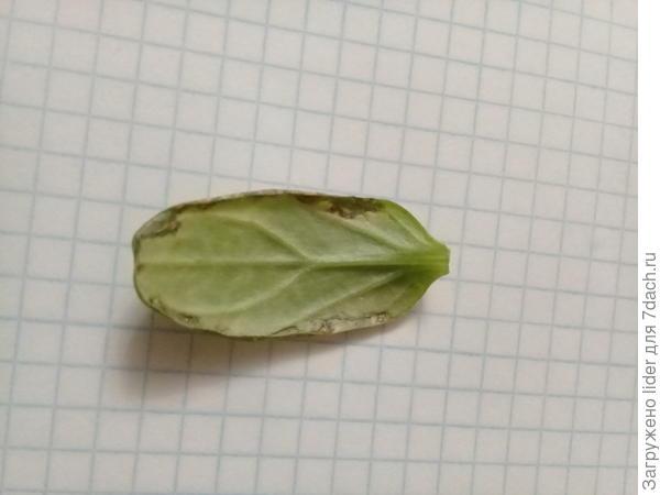 лист рассады огурец