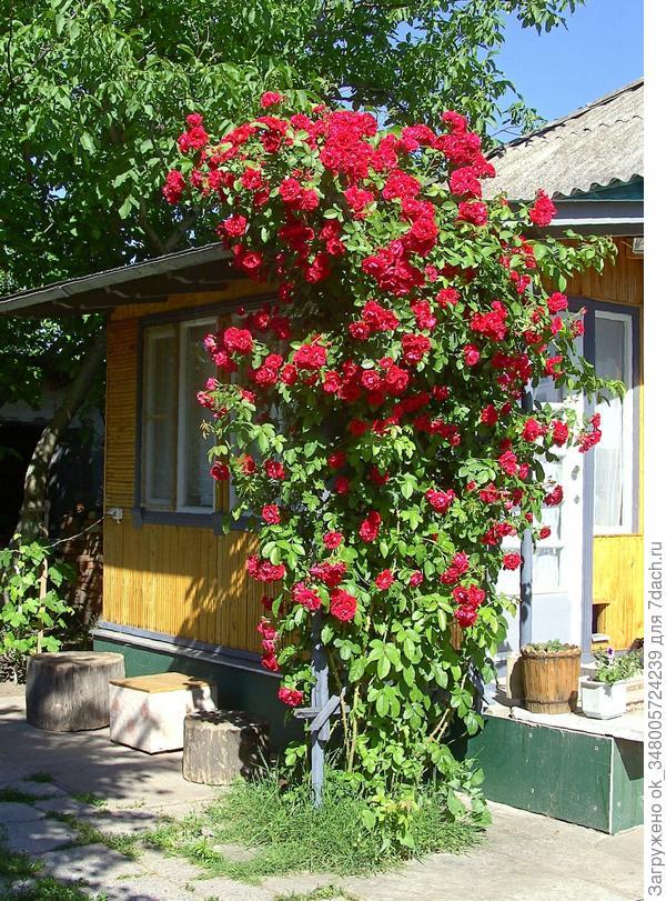 Дорогие, подскажите, что за сорт розы у нас...цветет один раз, весной обрезаю количество стеблей до 8-10, оставляю молодые и немного старых...