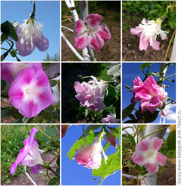 цветы ипомеи Шантеклер