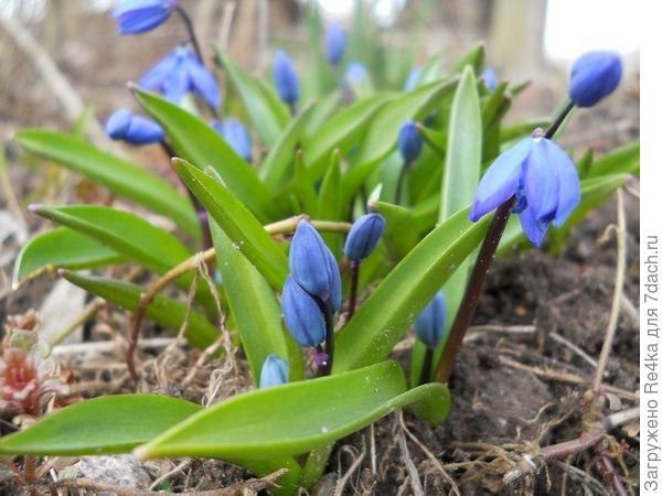 Синенькие вестники весны.