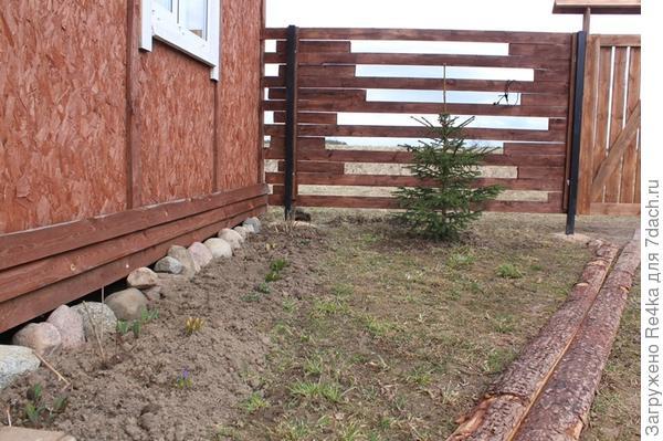 Одна из ёлочек, выкопанных в поле, заняла своё место у забора во дворе.
