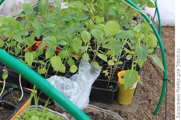 Перцы и баклажаны держатся геройски, мартовские томаты на втором месте, томаты февральского посева вопиют! Сегодня засунула руку внутрь грядки. Температура земли уже терпимая. Но ещё неделю могут быть заморозки. Умоляю томаты потерпеть до первого мая и буду высаживать.