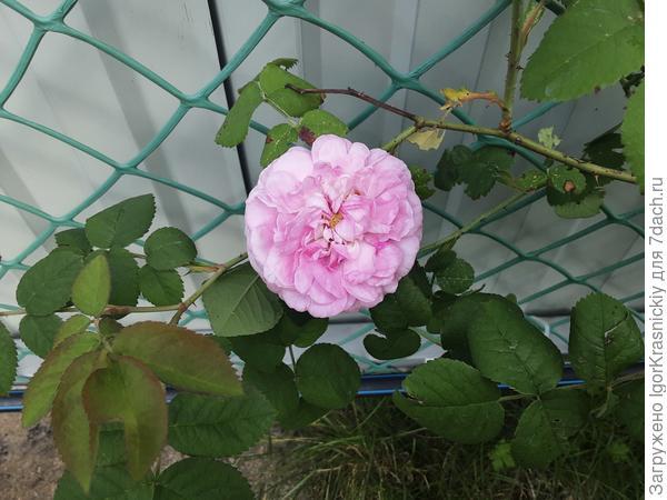 Роза или шиповник?