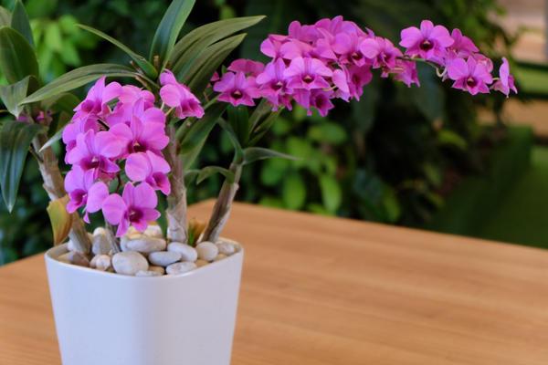 Орхидея – изысканный и чувственный цветок