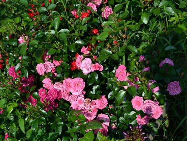 Чайная роза, скрещенная с ремонтанной, дала начало целому классу современных садовых роз