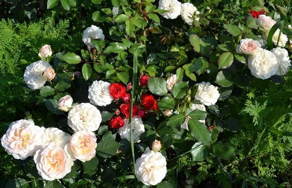 Розы сорта Pastella